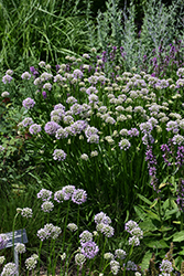 Summer Beauty Ornamental Chives (Allium tanguticum 'Summer Beauty') at Squak Mountain Nursery