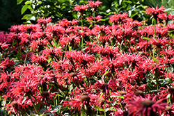Gardenview Scarlet Beebalm (Monarda 'Gardenview Scarlet') at Squak Mountain Nursery