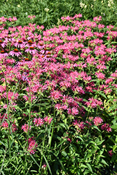 Coral Reef Beebalm (Monarda didyma 'Coral Reef') at Squak Mountain Nursery