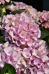 Everlasting Revolution Hydrangea (Hydrangea macrophylla 'Hokomarevo') at Squak Mountain Nursery