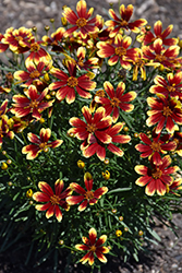 Honeybunch Red and Gold Tickseed (Coreopsis 'TNCORHRG') at Squak Mountain Nursery