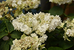 Wedding Gown Hydrangea (Hydrangea macrophylla 'Wedding Gown') at Squak Mountain Nursery