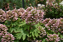 Oakleaf Hydrangea (Hydrangea quercifolia) at Squak Mountain Nursery