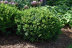 Margarita Yew (Taxus x media 'Geers') at Squak Mountain Nursery