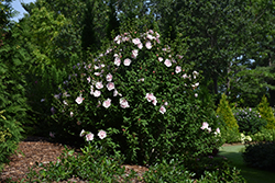 Pink Chiffon® Rose of Sharon (Hibiscus syriacus 'JWNWOOD4') at Squak Mountain Nursery
