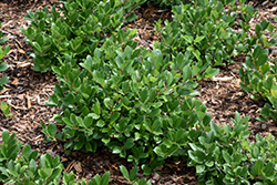 Low Scape® Hedger Aronia (Aronia melanocarpa 'UCONNAM166') at Squak Mountain Nursery