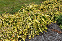Dream Catcher® Beautybush (Kolkwitzia amabilis 'Maradco') at Squak Mountain Nursery