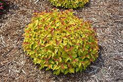 Double Play® Candy Corn® Spirea (Spiraea japonica 'NCSX1') at Squak Mountain Nursery
