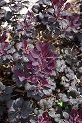 Winecraft Black® Smokebush (Cotinus coggygria 'NCCO1') at Squak Mountain Nursery