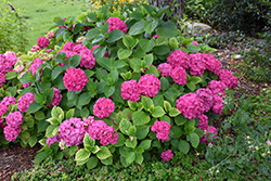 Let's Dance® Rave® Hydrangea (Hydrangea macrophylla 'SMNHMSIGMA') at Squak Mountain Nursery