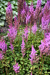 Purple Candles Astilbe (Astilbe chinensis 'Purple Candles') at Squak Mountain Nursery