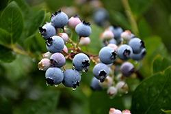 Bluecrop Blueberry (Vaccinium corymbosum 'Bluecrop') at Squak Mountain Nursery
