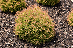 Fire Chief™ Arborvitae (Thuja occidentalis 'Congabe') at Squak Mountain Nursery