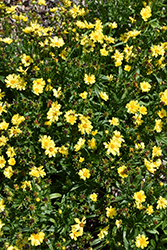 Leading Lady Sophia Tickseed (Coreopsis 'Leading Lady Sophia') at Squak Mountain Nursery