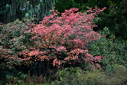 Autumn Brilliance Serviceberry (Amelanchier x grandiflora 'Autumn Brilliance') at Squak Mountain Nursery