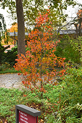Firespire® American Hornbeam (Carpinus caroliniana 'J.N. Upright') at Squak Mountain Nursery