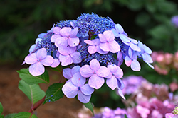 Twist-n-Shout® Hydrangea (Hydrangea macrophylla 'PIIHM-I') at Squak Mountain Nursery