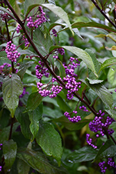 Purple Pearls® Beautyberry (Callicarpa 'NCCX1') at Squak Mountain Nursery