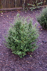 Patti O® Japanese Holly (Ilex crenata 'FARROWSK6') at Squak Mountain Nursery