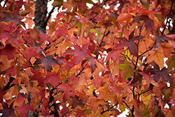 Sweet Gum (Liquidambar styraciflua) at Squak Mountain Nursery