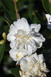 Winter's Snowman Camellia (Camellia 'Winter's Snowman') at Squak Mountain Nursery