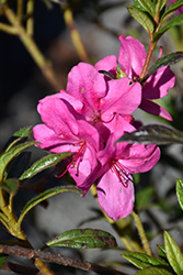 Encore® Autumn Jewel™ Azalea (Rhododendron 'Robleu') at Squak Mountain Nursery