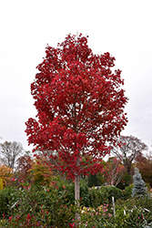 October Glory Red Maple (Acer rubrum 'October Glory') at Squak Mountain Nursery