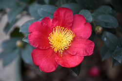 Yuletide Camellia (Camellia sasanqua 'Yuletide') at Squak Mountain Nursery