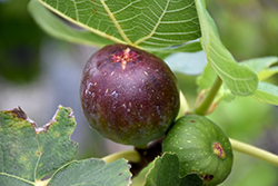 Brown Turkey Fig (Ficus carica 'Brown Turkey') at Squak Mountain Nursery