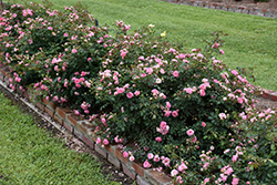 Sweet Drift® Rose (Rosa 'Meiswetdom') at Squak Mountain Nursery