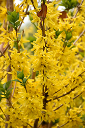 Gold Cluster Forsythia (Forsythia x intermedia 'Courtaneur') at Squak Mountain Nursery