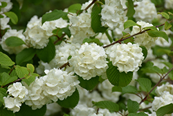 Popcorn Doublefile Viburnum (Viburnum plicatum 'Popcorn') at Squak Mountain Nursery