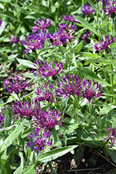 Amethyst Dream Cornflower (Centaurea 'Amethyst Dream') at Squak Mountain Nursery