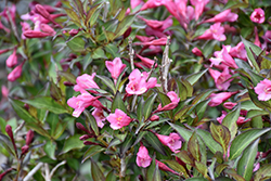 Fine Wine® Weigela (Weigela florida 'Bramwell') at Squak Mountain Nursery