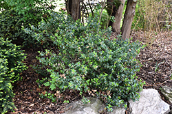Blue Prince Meserve Holly (Ilex x meserveae 'Blue Prince') at Squak Mountain Nursery