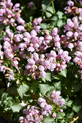 Pink Pewter Spotted Dead Nettle (Lamium maculatum 'Pink Pewter') at Squak Mountain Nursery