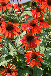 Sombrero® Sangrita Coneflower (Echinacea 'Balsomanita') at Squak Mountain Nursery