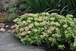 Autumn Delight Stonecrop (Sedum 'Autumn Delight') at Squak Mountain Nursery