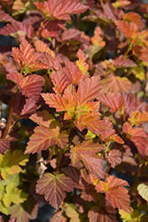 Amber Jubilee™ Ninebark (Physocarpus opulifolius 'Jefam') at Squak Mountain Nursery