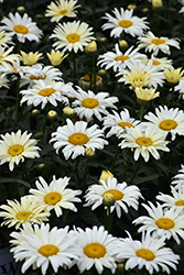 Banana Cream Shasta Daisy (Leucanthemum x superbum 'Banana Cream') at Squak Mountain Nursery