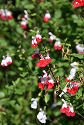 Hot Lips Sage (Salvia microphylla 'Hot Lips') at Squak Mountain Nursery