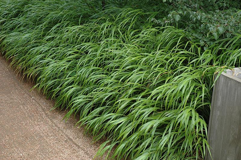 Japanese Woodland Grass Hakonechloa Macra In Issaquah