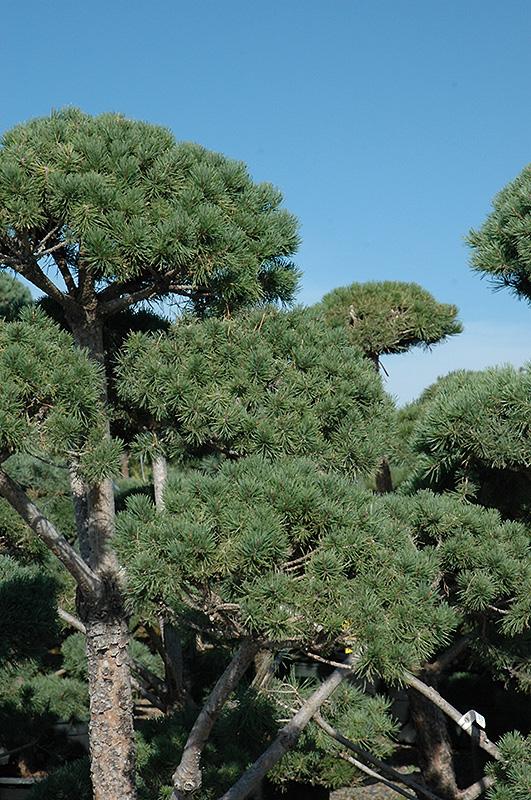 Poodle Dwarf Scotch Pine Pinus Sylvestris Poodle In