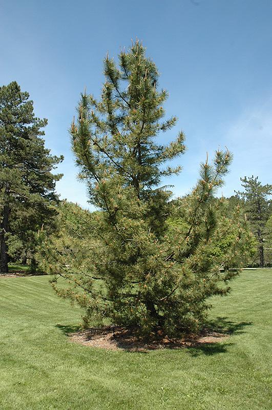 Japanese Black Pine Pinus Thunbergii In Issaquah Seattle