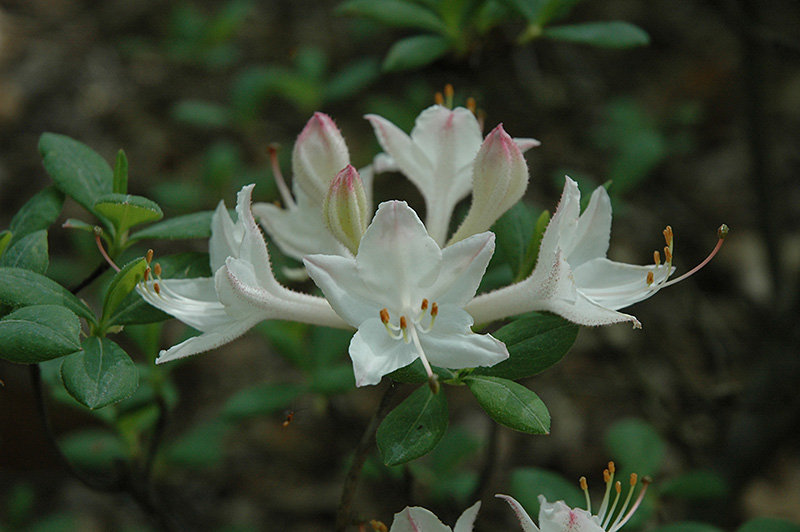 Fragrant Star Azalea Rhododendron Fragrant Star In