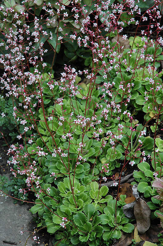 London Pride Saxifraga umbrosa in Issaquah Seattle