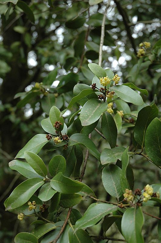 California Bay Laurel Umbellularia Californica In