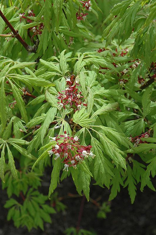 Ground Cover Plants Full Sun: Monroe Vine Maple (Acer Circinatum 'Monroe') In Issaquah