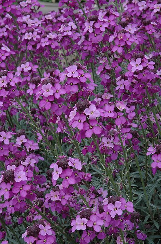 Best Ground Cover Plants For Sun: Bowles Mauve Wallflower (Erysimum 'Bowles Mauve') In