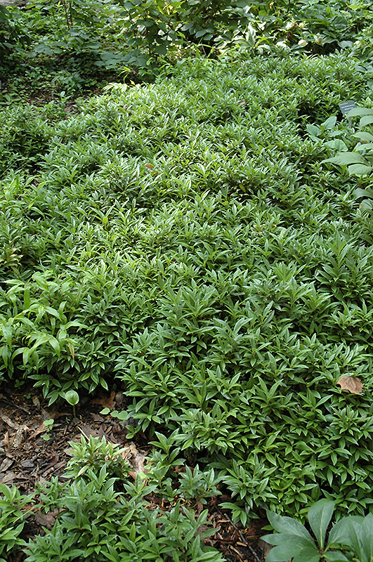 Dwarf Sweet Box Sarcococca Hookeriana Var Humilis In